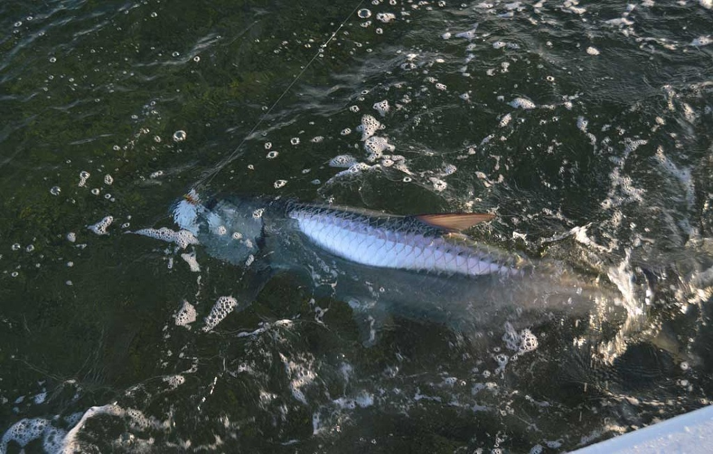 Big Bonita Springs Tarpon On Fly